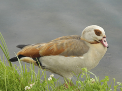 Egyptian Grey Goose full shot